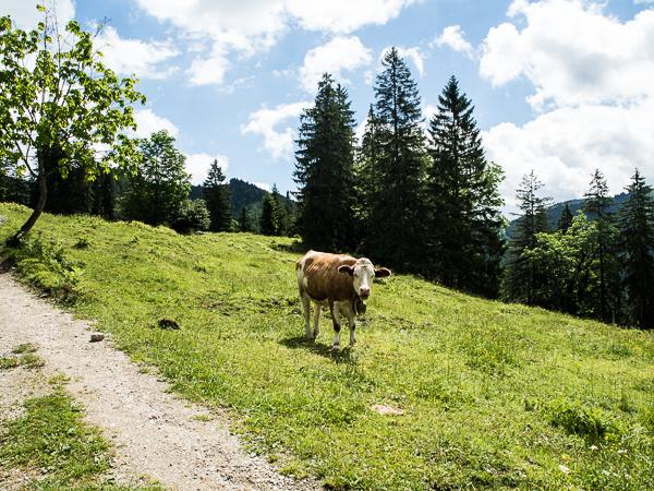 Eine Kuh am Wegesrand
